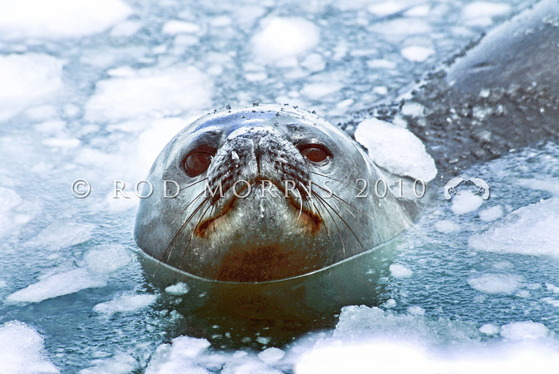 11002-42114  Weddell seal (Leptonychotes weddellii) surfacing at breathing hole on the Antarctic coast *