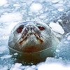 11002-42114  Weddell seal (Leptonychotes weddellii) surfacing at breathing hole on the Antarctic coast