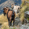 DSC_2025 Feral goat (Capra hircus) wild pair, male in foreground. Typical of the range of colour of feral goats in the Lake Wakatipu area. Arrowtown *
