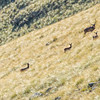 DSC_4229 Red deer (Cervus elaphus scoticus) stag with hinds and fawns in tussock high country. Kakanui Range *