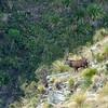 DSC_4258 Red deer (Cervus elaphus scoticus) stag in tussock grassland above river gorge. Kakanui Range *