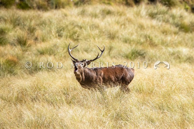 DSC_4174 Red deer (Cervus elaphus scoticus) stag roaring in tussock high country. Kakanui Range *