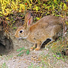 11002-14205 European rabbit (Oryctolagus cuniculus cuniculus) approaching its burrow. This is the wild ancestor of all domestic rabbits. Alexandra *