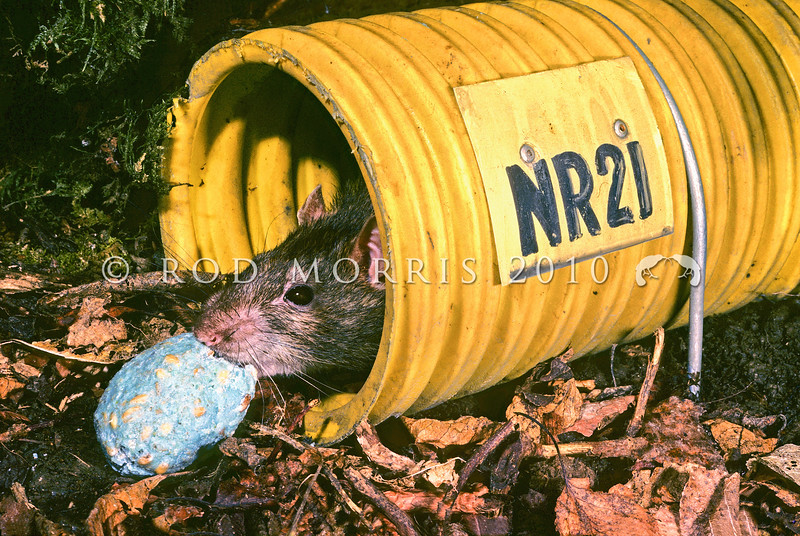 11002-19110  Norway or brown rat (Rattus norvegicus) stealing bait. The largest of three rat species in New Zealand *