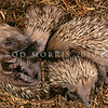 11002-13115  European hedgehog (Erinaceus europaeus occidentalis) four young, aged about three weeks old in nest. Broad Bay, Otago Peninsula *