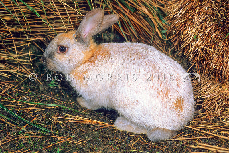 11002-14315 Rabbit (Oryctolagus cuniculus) an old doe of the ancient French domestic breed 'Argent Creme' introduced to Enderby Island in 1865 and eradicated from the island in 1991-92. Argente Cremes have orange underfur and their outer color is silver-white, giving them a creamy appearance. This beautifully silver coloured breed is genetically related to the breed 'Champagne d'Argent' which provided the genetics for breeds, such as Argente Bleu, Argente Brun, Argente Crème, and Argente St. Hubert. Champagne d'Argent is an early breed going back in history to at least 1631, and probably much earlier. *
