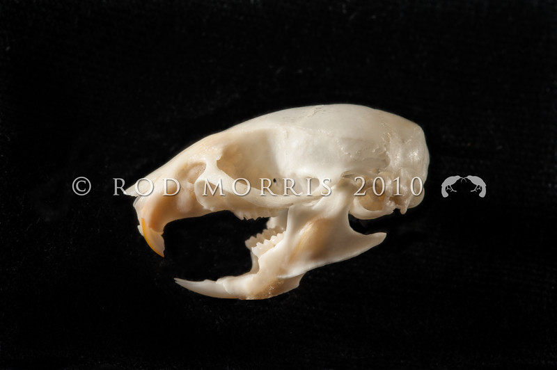 DSC_8538 House mouse (Mus musculus domesticus) lateral view of skull prepared by George Holley. Mice are often overlooked as predators, but mouse numbers increase in many areas in summer when pasture grasses seed, providing an abundance of food. Mice are significant predators of insects, especially beetles and caterpillars, as well as small reptiles, and the eggs and young of small birds. Wellington *