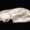 DSC_2672 Feral ferret (Mustela putorius furo) lateral view of skull prepared by George Holley. Adult male ferrets are twice the weight of females. This great size difference in the sexes has led to great gender differences in natural prey: male ferrets prey more on rabbits, females more on rats. However in New Zealand a large number of rare native bird species including kiwi, have also been documented. Otago Peninsula *