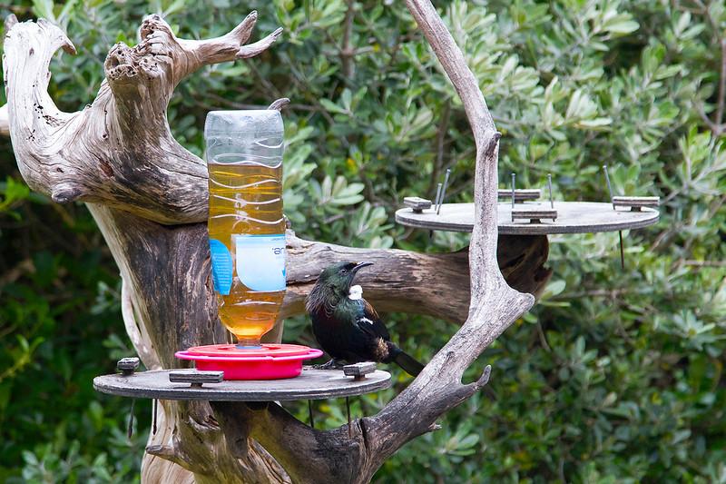 Tūī eating nectar on Tiri
