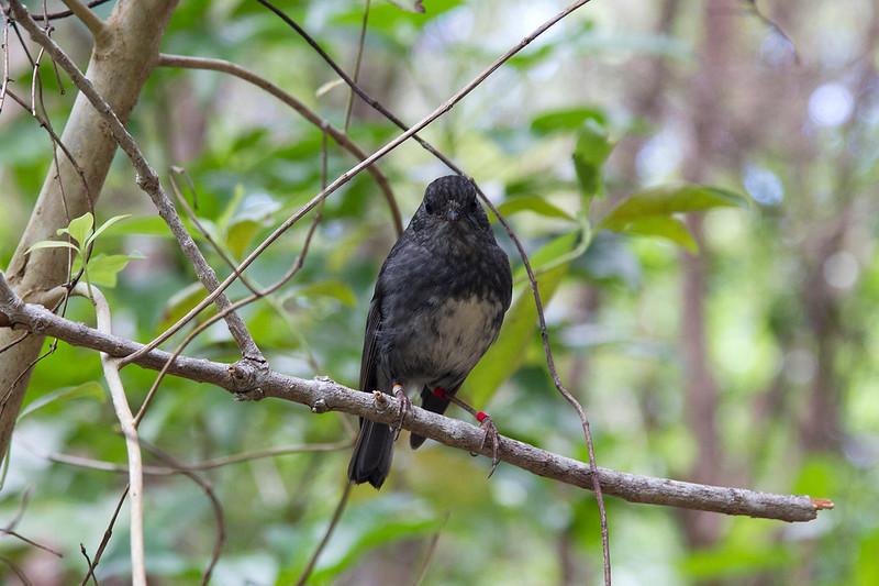 visit Tiritiri Matangi Island toutouwai