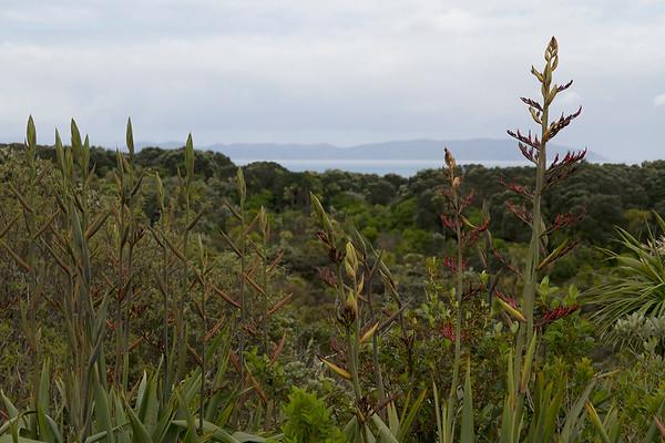 Harakeke Tiritiri Matangi Island