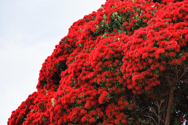 Pohutukawa in bloom Akaroa