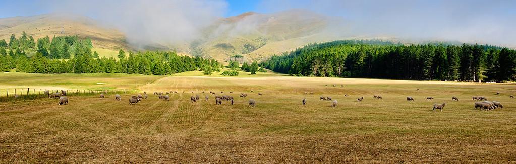 Sheep grazing paddock Burkes Pass