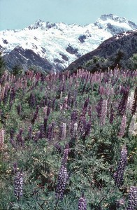 Lupens Mt Cook National Park New Zealand - Dec 1983