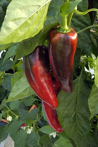 Peppers Dave and Sjörs cycad emporium Matakana New Zealand - Apr 2005