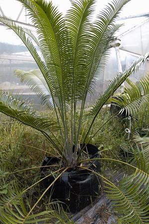 Cycad Dave and Sjörs cycad emporium Matakana New Zealand - Apr 2005