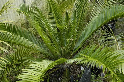 Cycad Dave and Sjörs cycad emporium Matakana New Zealand - Apr 2005