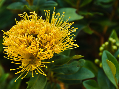 Yellow flowers of metrosideros excelsa aurea Auckland New Zealand