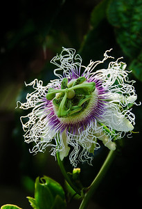 Flowering passion fruit vine Auckland New Zealand