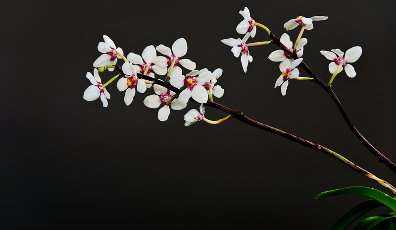 Blooming sarcochilus fitzgeraldi orchids Auckland New Zealand