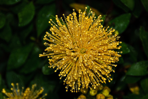 Dew drops on yellow flower of metrosideros excelsa aurea Auckland New Zealand