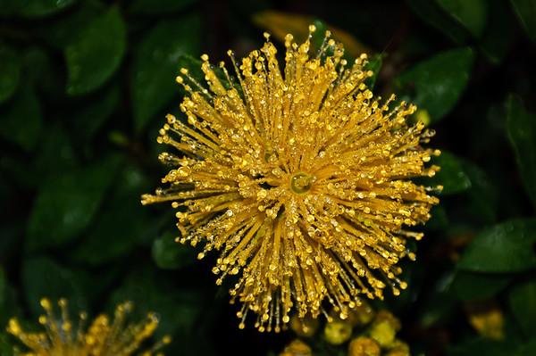 Dew drops on yellow flower of metrosideros excelsa aurea Auckland New Zealand