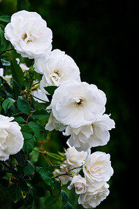 Blooming white roses Auckland New Zealand