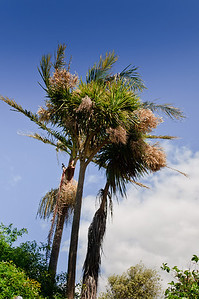 Blooming cabbage trees Auckland New Zealand