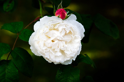 Blooming white rose Auckland New Zealand