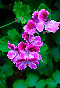 Blooming geraniums Auckland New Zealand
