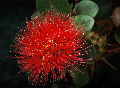 Red flower of dwarf pohutukawa tahiti Auckland New Zealand
