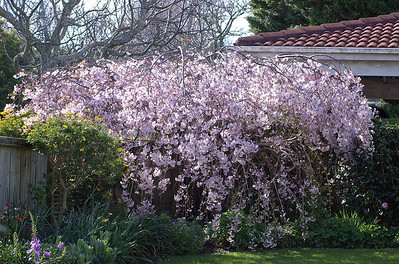 Weeping cherry blossom Moana Ave Onehunga Auckland New Zealand - 17 Sep 2006