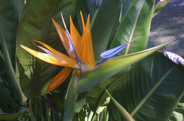 Bird of Paradise Moana Ave Onehunga Auckland New Zealand - 29 Aug 2006