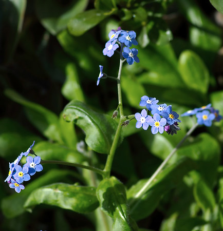 Forget-me-nots Moana Ave Auckland New Zealand - 17 Sep 2006