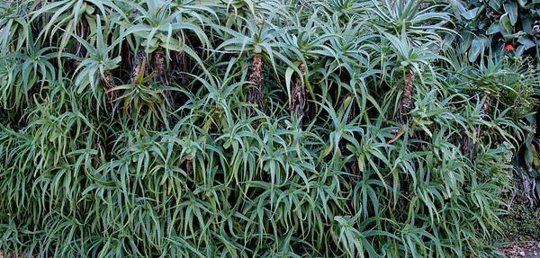 Aloe vera Auckland University New Zealand - 22 Apr 2007