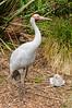 Australian crane and chick