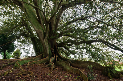 Fig tree with extensive roots Monte Cecilia Park Auckland New Zealand