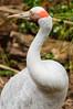 Australian crane