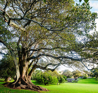 Moreton Bay fig tree Cornwall Park Auckland