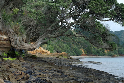 A precariously balanced pohutukawa on the coast between Wattle Bay and Orua Bay Awhitu Peninsula New Zealand - 3 Sep 2006  Pohutukawas are New Zealand natives. They come out in bright red blooms around christmas time - downunder that is.