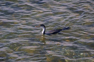 Swimming shag Cornwallis Waitakere City New Zealand - 3 Sep 2006