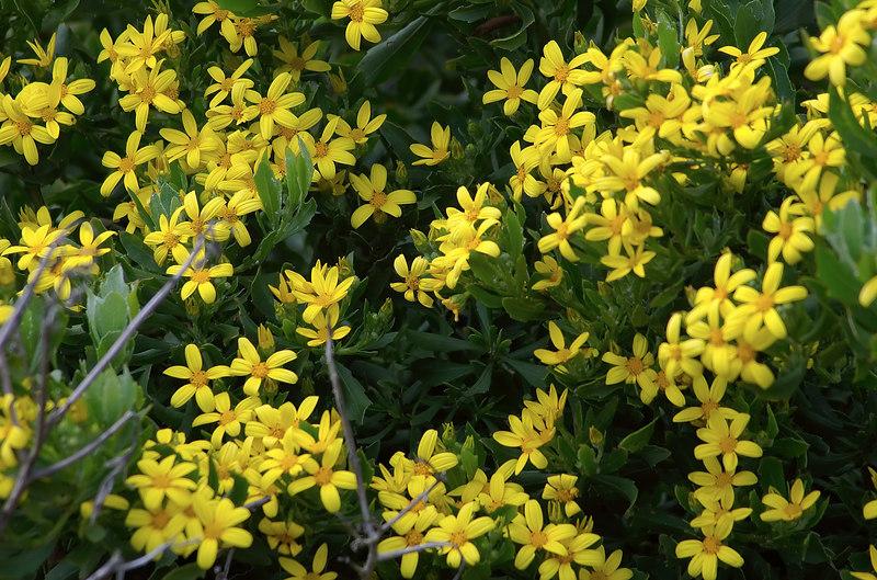Yellow blooms Awhitu Peninsula New Zealand - 3 Sep 2006