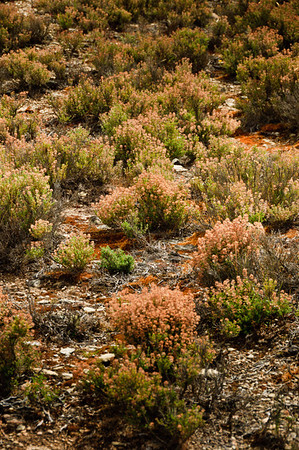 Flowering wild thyme Bannockburn Central Otago South Island New Zealand