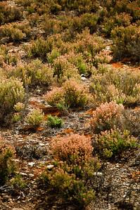 Flowering wild thyme Bannockburn Central Otago South Island New Zealand