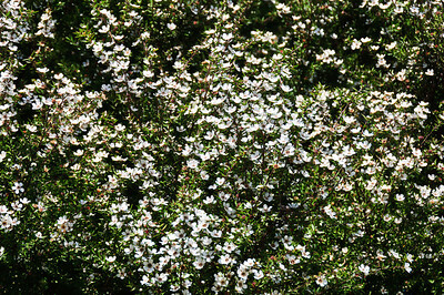 Flowering manuka Whangamumu scenic reserve Bay of Islands New Zealand