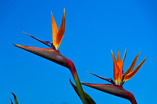 Bird of paradise flowers Russell Bay of Islands New Zealand