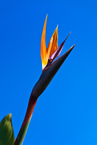 Bird of paradise flower Russell Bay of Islands New Zealand