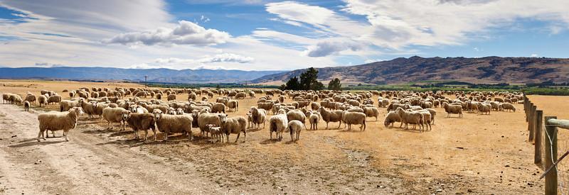 Mob of sheep waiting to change paddock Lauder Central Otaho New Zealand