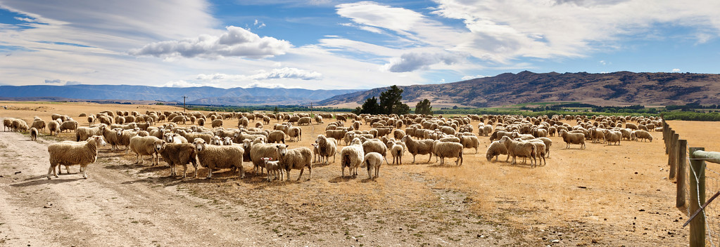 Mob of sheep waiting to change paddock Lauder Central Otaho New Zealand