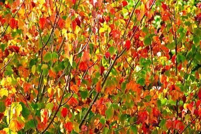 Autumn leaves Eden Gardens Auckland New Zealand